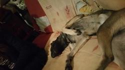 Maline, chien Berger belge