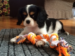 Maliss, chien Cavalier King Charles Spaniel