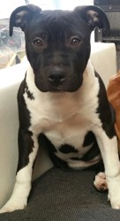 Malka, chiot American Staffordshire Terrier