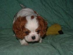Mallie, chien Cavalier King Charles Spaniel