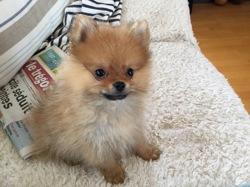 Malo, chien Spitz allemand