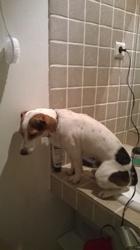 Malock, chien Jack Russell Terrier