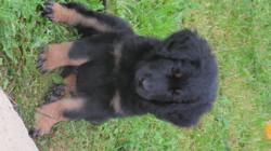 Malon, chien Hovawart
