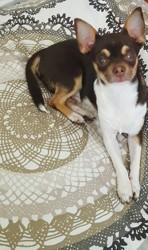 Malone, chiot Chihuahua