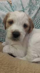 Malone, chien Épagneul breton