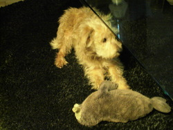Malou, chien Berger des Pyrénées