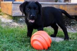 Malt, chien Labrador Retriever