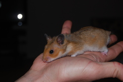 Malthazar, rongeur Hamster
