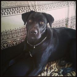 Malya, chien Labrador Retriever