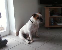 Malyka N Est Plus De Ce Monde , chien Bulldog