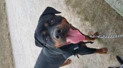 Malys, chien Rottweiler