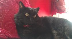 Mamadou , chat Européen