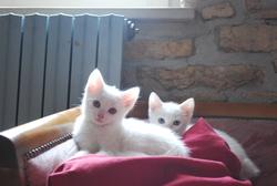 Mamble Et Epice, chat Européen
