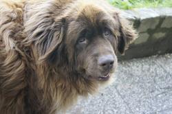 Mambo , chien Terre-Neuve