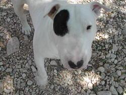 Mambo, chien Bull Terrier
