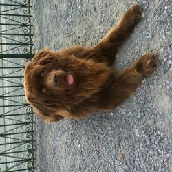 Mambo, chien Terre-Neuve