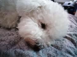 Mamour, chien Bichon à poil frisé