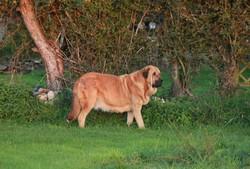 Manchas De Los Piscardos, chien Mâtin espagnol