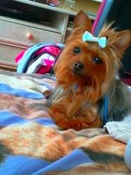Mandine, chien Yorkshire Terrier