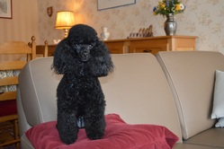 Mandy, chien Caniche