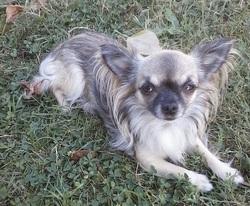 Mandy, chien Chihuahua
