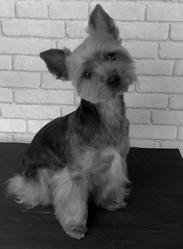 Mandy, chien Yorkshire Terrier
