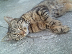 Maneki, chat Gouttière