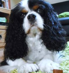 Manéo, chien Cavalier King Charles Spaniel