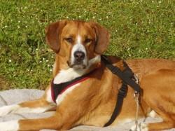 Manga, chien Labrador Retriever