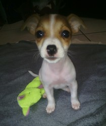 Manga, chien Jack Russell Terrier