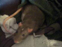 Mango, rongeur Rat