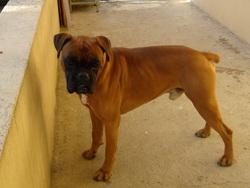 Mango, chien Boxer