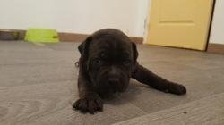 Mango, chien Staffordshire Bull Terrier
