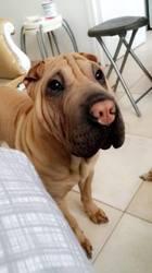Mango, chien Shar Pei