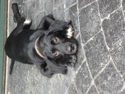Mango, chien Labrador Retriever