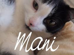 Mani, chat Européen