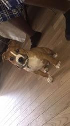 Mani, chien American Staffordshire Terrier