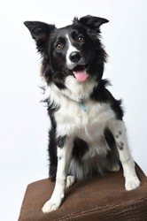 Manka, chien Border Collie