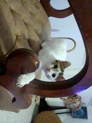 Mannouch, chat Angora turc