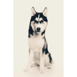 Manny, chien Husky sibérien