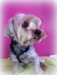 Manolo, chien Yorkshire Terrier