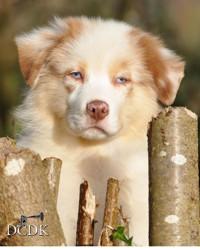 Manolo, chien Berger australien