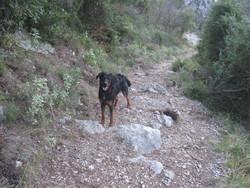Manon, chien Setter Gordon