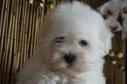 Manon, chien Coton de Tuléar