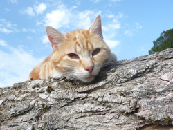 Manouche, chat