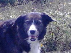 Manouche, chien Berger belge
