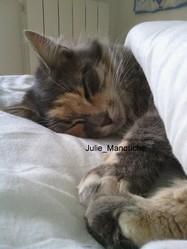 Manouche, chat Européen