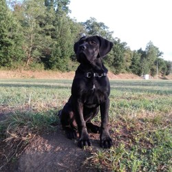 Manouk, chien Cane Corso