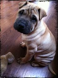 Mao, chien Shar Pei