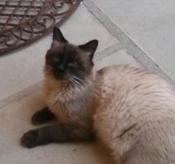Mao, chat Siamois